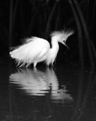 CM-BWP-01-Reflections of the    snowy egret gold bwp cm-01
