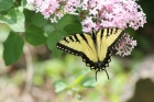 Lilac_and_Swallowtail